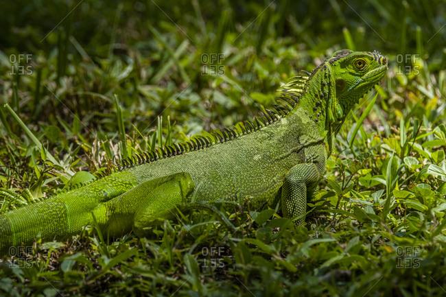 Green iguana sitting in grass