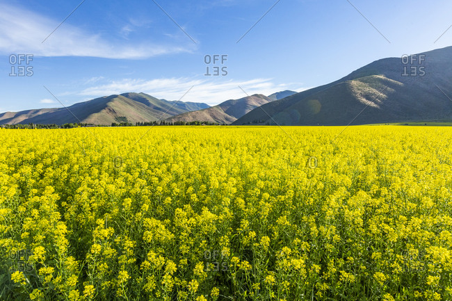 USA, Idaho, Sun Valley, Field of Mustard with hills behind