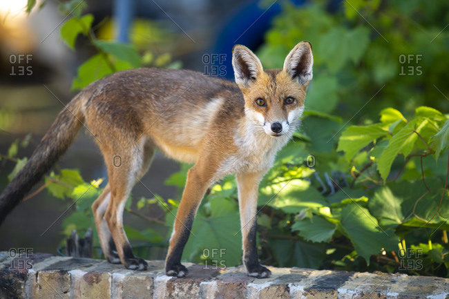 An urban fox cub on a garden wall in London
