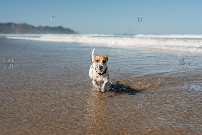 Jack Russell Terrier running in the ocean waves