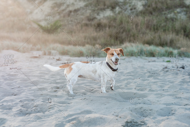 Jack Russell Terrier playing on a sandy beach