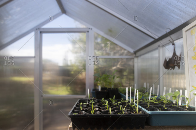 Plant seedlings in trays in a greenhouse