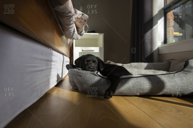 Adorable black puppy resting in a pet bed