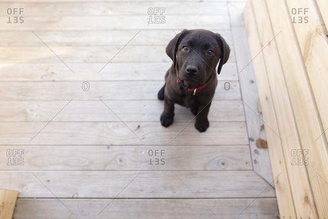 Black puppy sitting calmly on a wooden deck