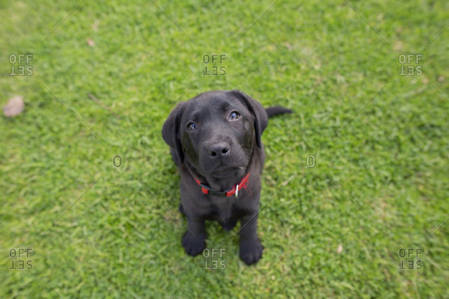 Cute black puppy sitting calmly in the grass