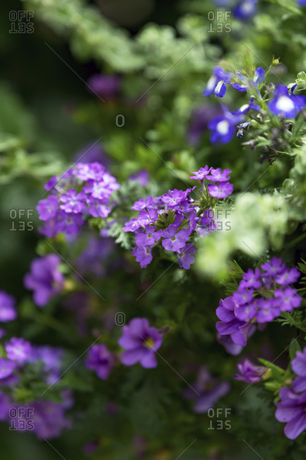 Purple wildflowers with shallow depth of field