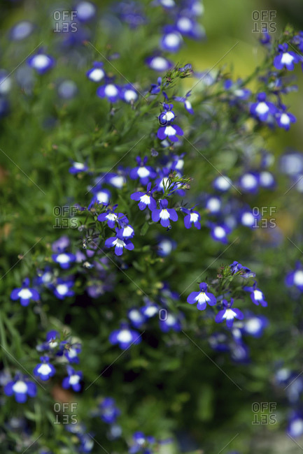 Dark purple and white flowers with shallow depth of field