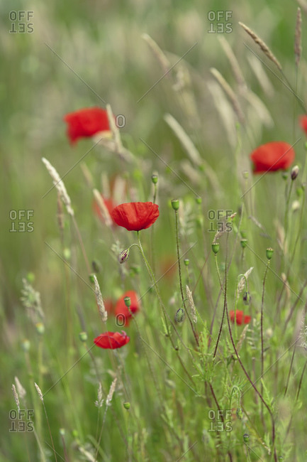 Poppies between tall grass of a meadow