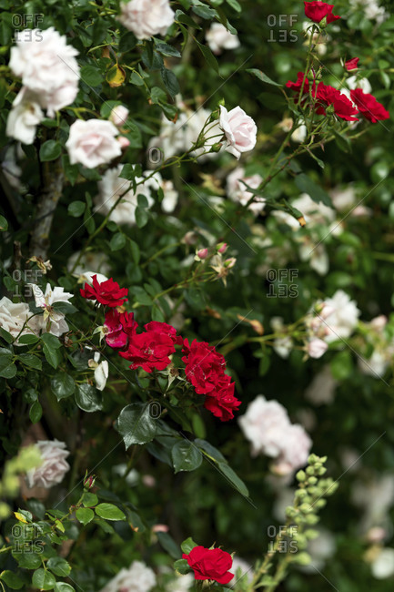 Pink and red garden roses in bloom