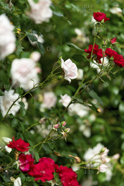 Close up of pink and red garden roses in bloom