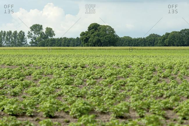 Rural scene of green crops under cloudy sky