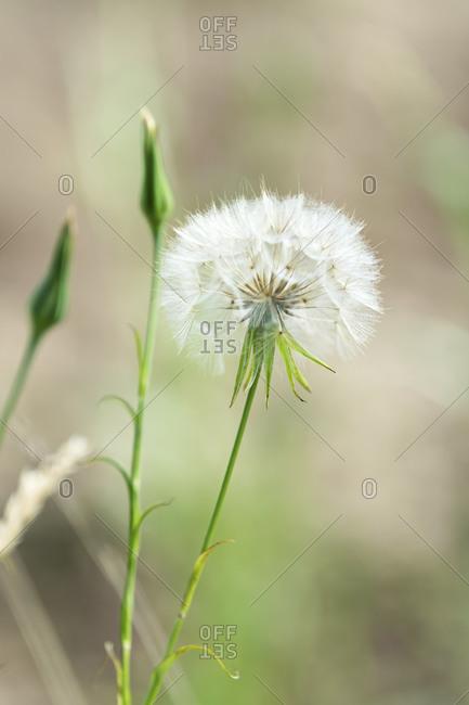 Close up of a seedy dandelion flower