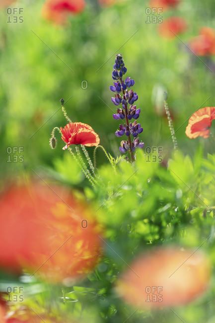 Poppies growing beside purple flowers in a meadow