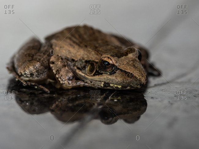 High angle close up of a Sharp-Nosed Grass Frog, Ptychadena oxyrhynchus.