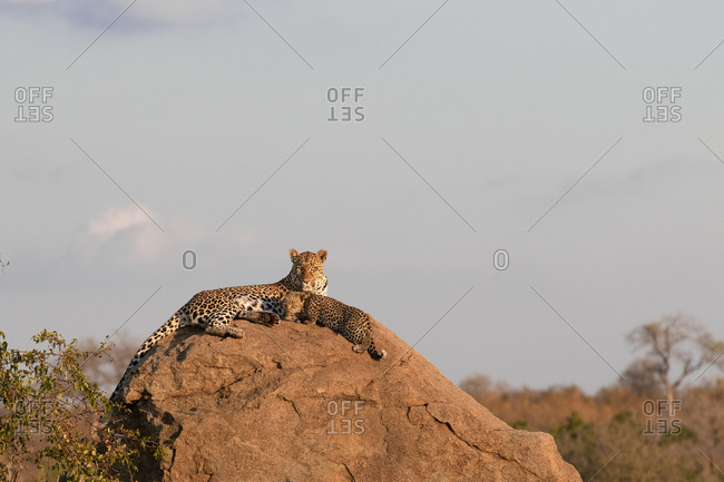 A mother leopard, Panthera pardus, lies on a boulder with her cub.