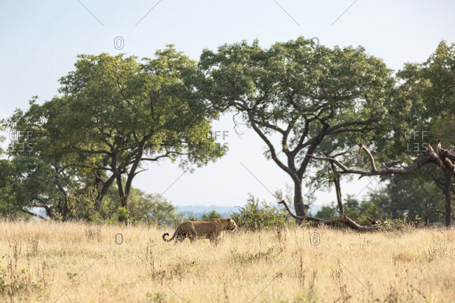 Leopard, Panthera pardus, walking through open plain in yellow grass.