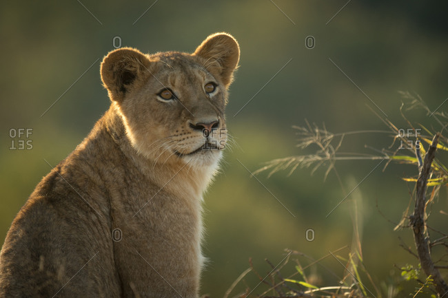 Lion cub, Panthera leo, looking out of frame, with greenery in background.