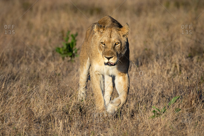 A lioness, Panthera leo, walks towards the camera, looking out of frame, dry brown grass