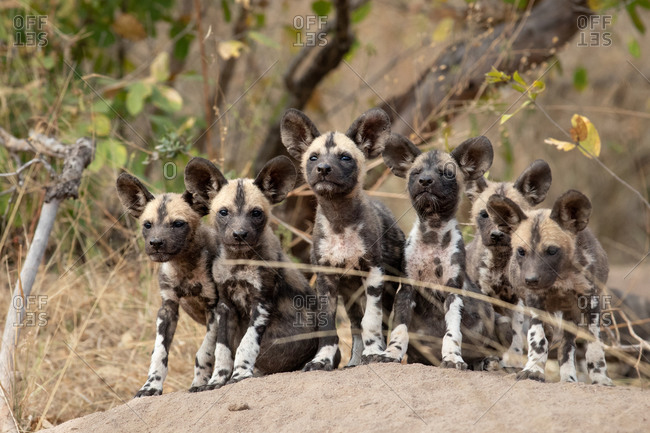 A pack of Wild Dog puppies on a termite mound, ears forward, looking at camera.