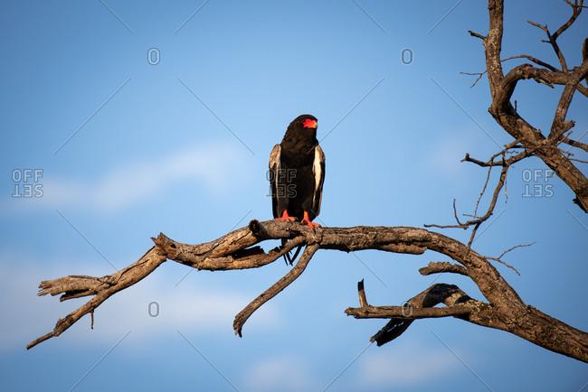 A Bateleur, Terathopius ecaudatus, perches on a branch against blue sky.