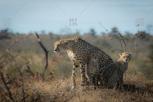 A cheetah, Acinonyx jubatus, with two young cubs.