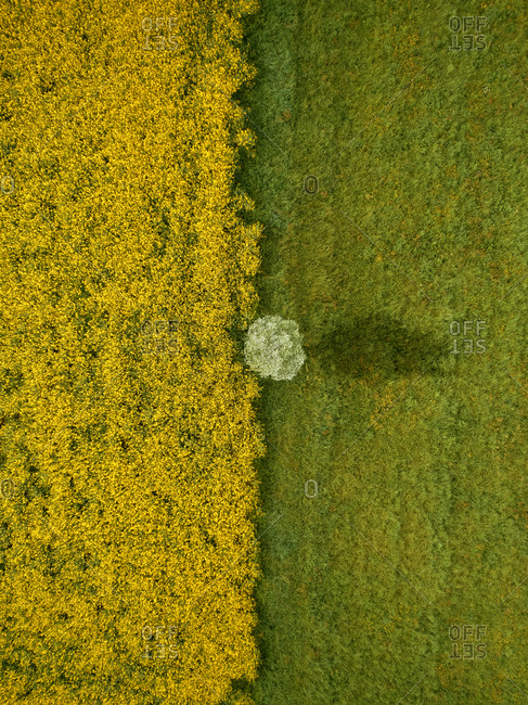 Aerial view of a lone tree grown between a rapeseed cultivation field in bloom and a green meadow, Po Valley, Lombardy, Italy.
