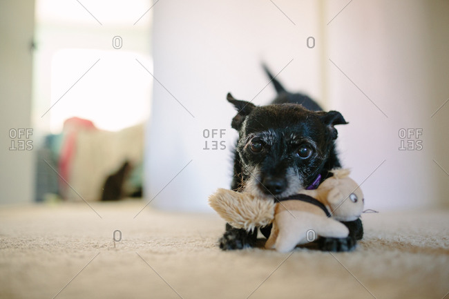 Small black dog bites her dog toy as she crouches down on the carpet