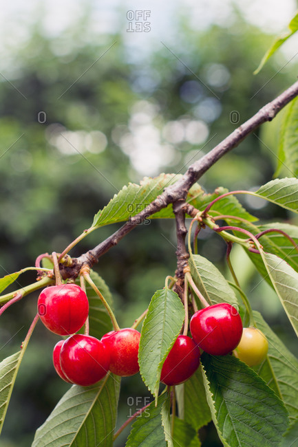 Bouquet of cherries ripening in the orchard