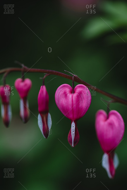 Close up of pink and white bleeding heart flowers in bloom.