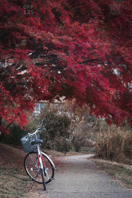 Red bicycle parking on the street with red maple leaves background