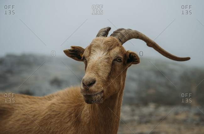 Mountain goat from Asturias Spain.