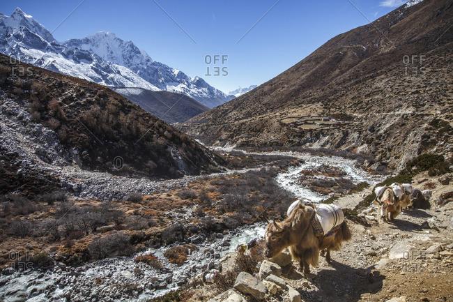 Yaks carry goods up Nepal's Khumbu Valley towards Everest Base Camp.