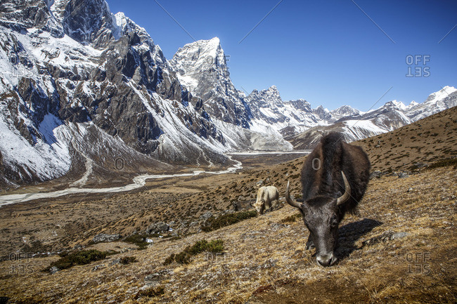 Yaks near the trail to Everest Base Camp in Nepal's Khumbu Valley.