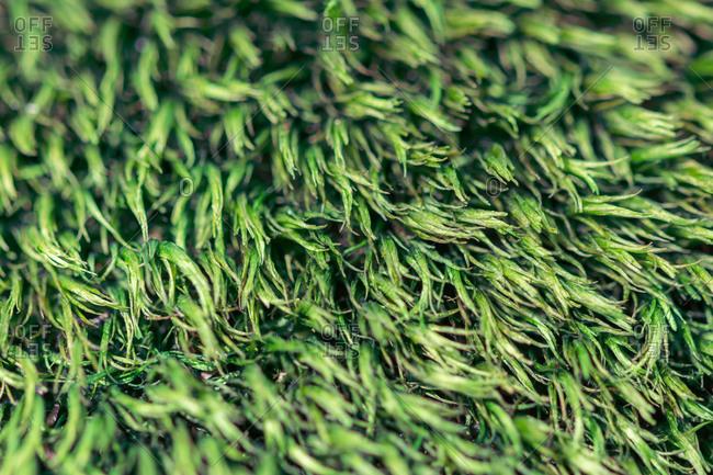 Macro of the green fresh moss