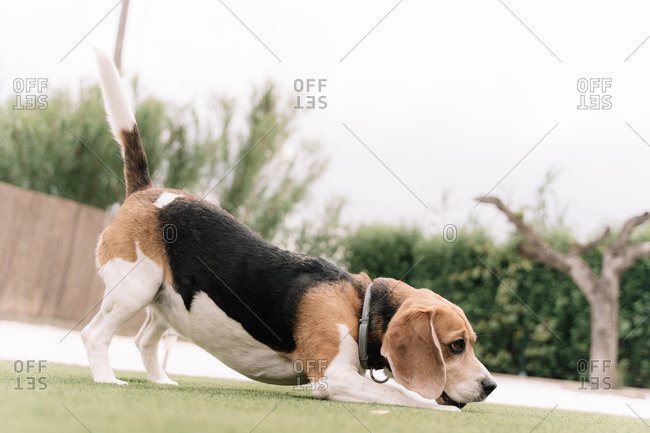 Beagle dog stretching his back in a garden