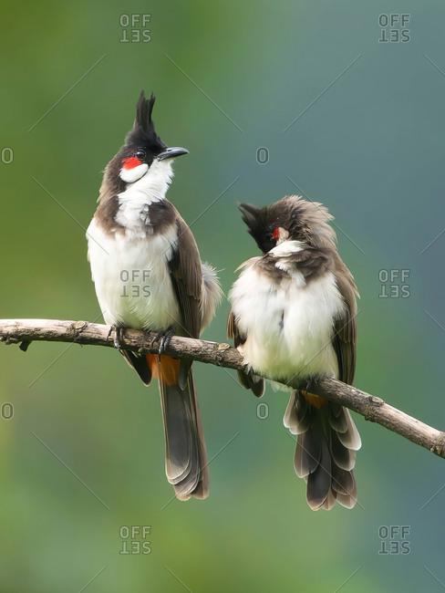 A couple  bird portrait in innkeeper