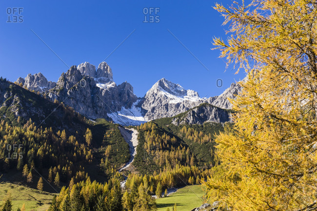 Colorful European larch trees (Larix decidua) in front of Grosse Bischofsmuetze (2458 m) and Armkarwand (2351 m), autumn, Hofalm, Filzmoos, Salzburger Land, Austria