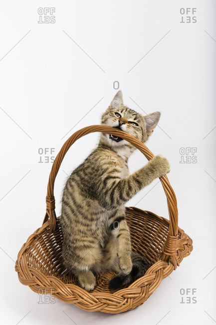 Three month old kitten on white background, studio, Germany