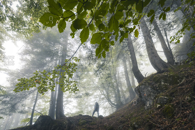 Young hiker explores a beech forest on a gloomy day, San Lucano Valley, Taibon Agordino, Belluno, Veneto, Italy