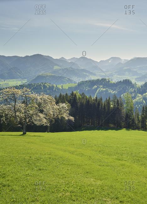 blooming cherry tree, Windischgarsten, Upper Austria, Austria