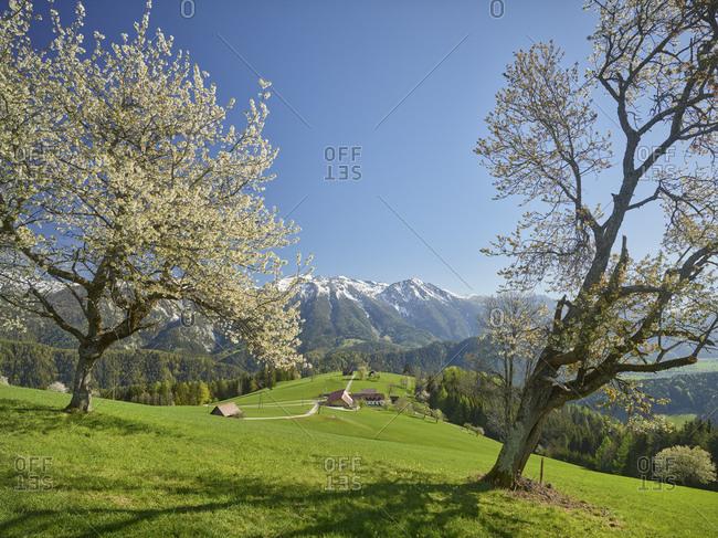 blooming cherry tree, Sengsen Mountains, Windischgarsten, Upper Austria, Austria