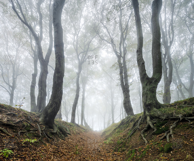 Hollow path through mysterious forest in the fog, bizarre overgrown beech trees, autumn, Ore Mountains, Czech Republic