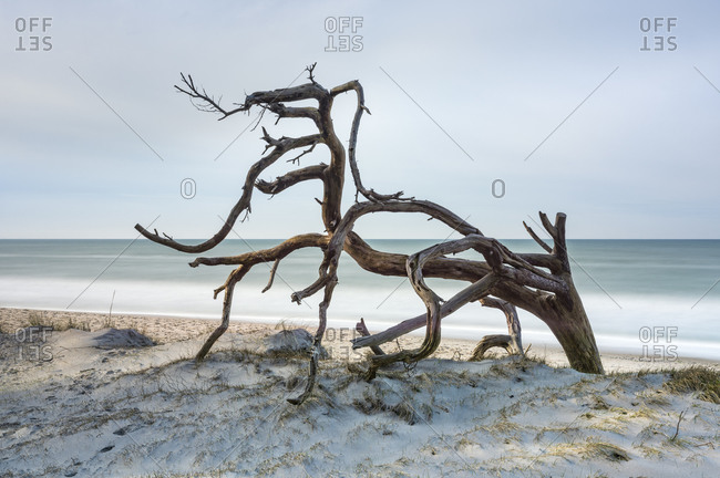 Uprooted tree on the beach of the Baltic Sea, sandy beach with dunes, long exposure