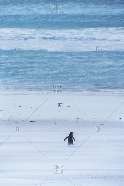 Gentoo Penguin (Pygocelis papua papua) walking on the beach, East Falkland, Falkland Islands, South America
