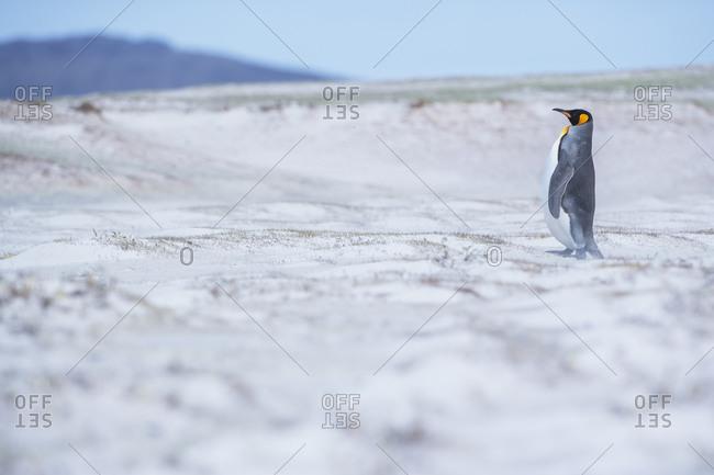 King penguin (Aptenodytes patagonicus) standing in a sand storm, Volunteer Point, East Falkland, Falkland Islands
