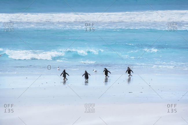 Gentoo Penguins (Pygocelis papua papua) walking on the beach, East Falkland, Falkland Islands, South America