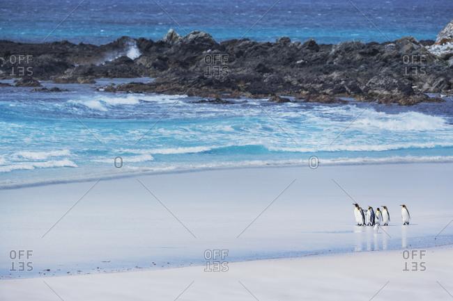 King Penguins (Aptenodytes patagonicus) walking on the beach,  East Falkland, Falkland Islands, South America