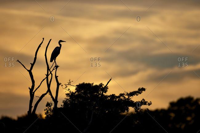Gray heron, Ardea cinerea, on tree in backlight, evening mood