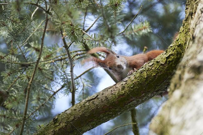 Red squirrel, Sciurus vulgaris, peeking from tree