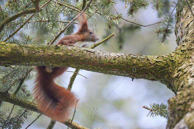 Red squirrel, Sciurus vulgarish, climbing tree